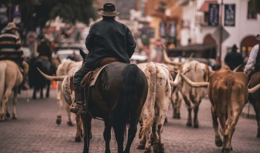 Cowboys corralling longhorn cattle during a drive at the Fort Worth Stockyards