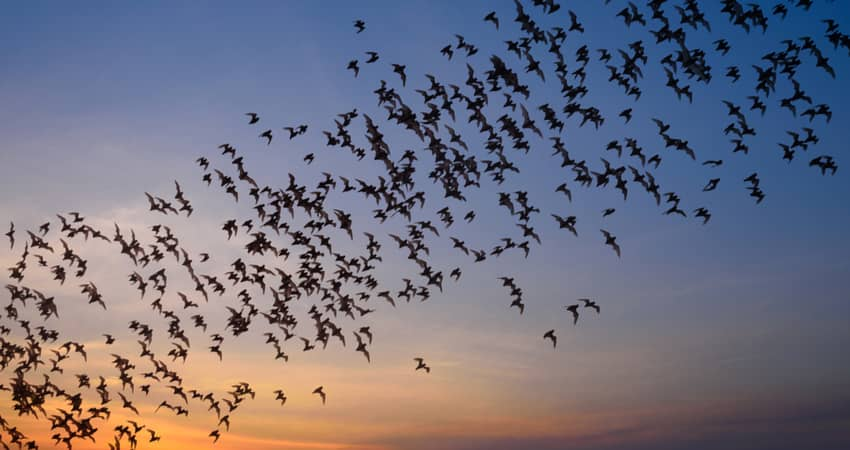 Bats flying at dusk in San Antonio