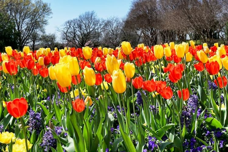 Red and yellow tulips at Dallas Arboretum