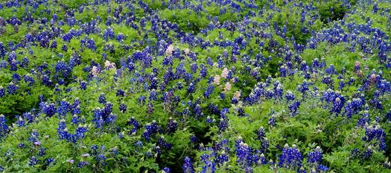 blue bonnet flowers at the Lady Bird Johnson Wildflower Center